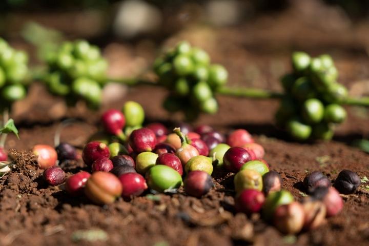 Cà phê Buôn Ma Thuột - Tây Nguyên huyền thoại - 2